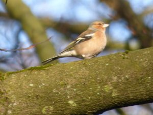 Chaffinch in Crimsworth Dean near Elmet Farmhouse Yorkshire holiday cottage for birdwatchers Hebden Bridge