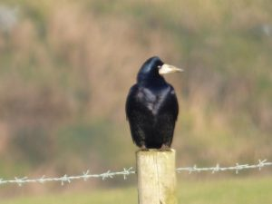 Rook in Crimsworth Dean near Elmet Farmhouse holiday cottage Hebden Bridge Yorkshire