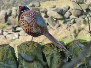 Pheasant at Elmet Farmhouse Yorkshire selfcatering holiday cottage at Pecket Well near Hebden Bridge Yorkshire