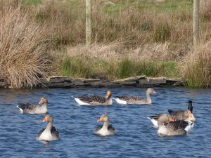 Greylag geese on Wilcock Dam at Pecket Well near Elmet Farmhouse holiday cottage Hebden Bridge, Yorkshire