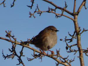 Dunnock in Crimsworth Dean near Elmet Farmhouse holiday cottage for birdwatchers Hebden Bridge Yorkshire