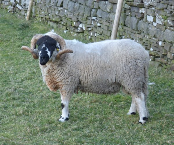 Swaledale Sheep near Elmet Farmhouse Yorkshire selfcatering holiday cottage at Pecket Well near Hebden Bridge Yorkshire