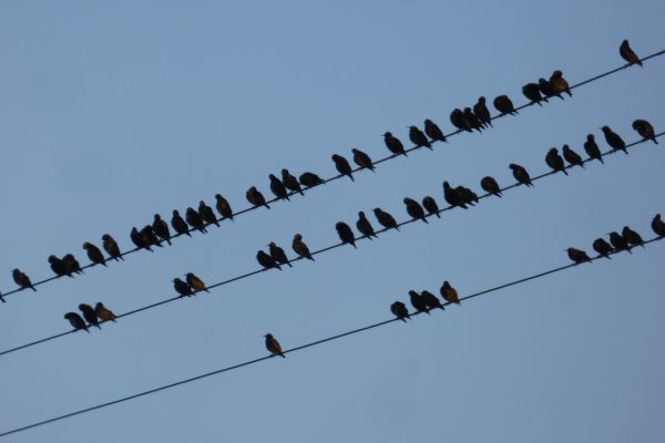 Starlings in Crimsworth Dean near Elmet Farmhouse holiday cottage Hebden Bridge Yorkshire