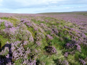 elmet-farmhouse-heather-moorland-august-12